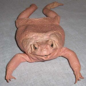 Toad Change Purse with 4 legs