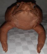 Cane toad coin purses